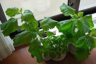 家庭用の水耕栽培キットもLED利用が主流となりそう