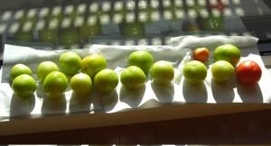 リビングで日向ぼっこのトマト